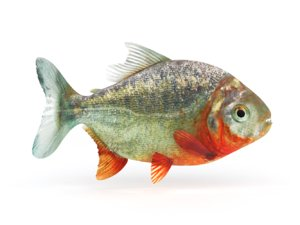 piranha fish 3D