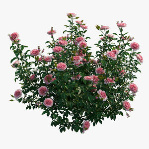 rose plant 3D