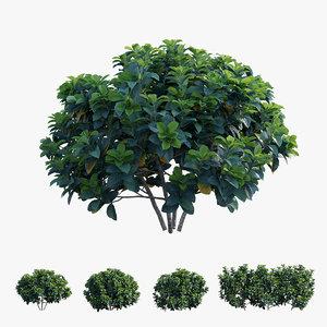 3D gardenia angustifolia merr plant