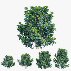 gardenia angustifolia merr plant 3D model