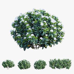 3D model gardenia angustifolia merr plant