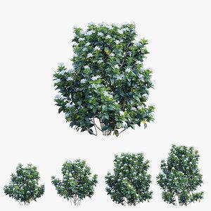 gardenia angustifolia plant 06 3D model