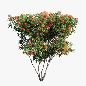 ixora plant set 07 3D model