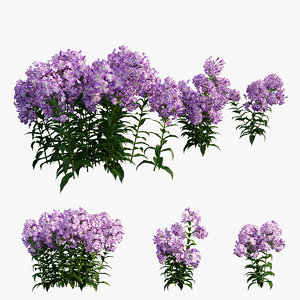 phlox paniculata purple 02 3D model