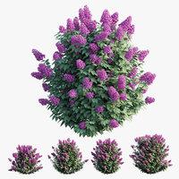 Syringa Dwarf Lilac