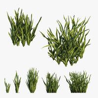Sansevieria trifasciata plant 03