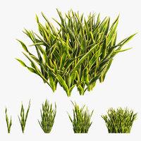 Sansevieria trifasciata plant 02