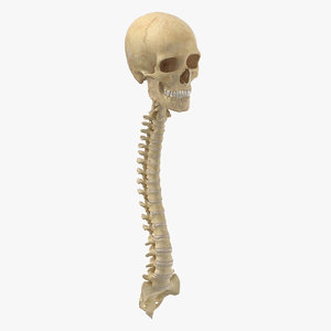 real human spine bones 3D model