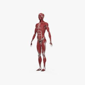 3D muscular huma
