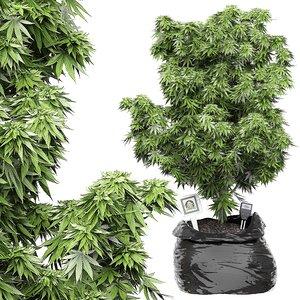 3D cannabis marijuana flora