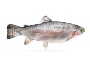 3D fish trout model