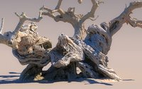 A thousand-year-old olive tree