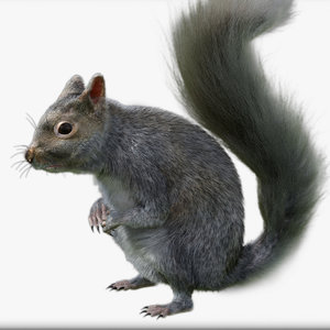 3D squirrel animation rig model