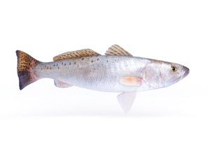 3D spotted seatrout fish model