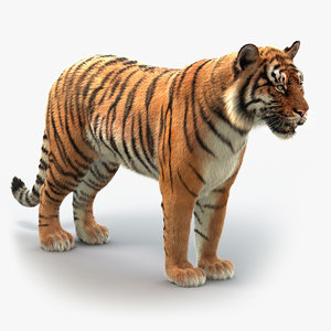 bengal tiger xgen animation 3D model