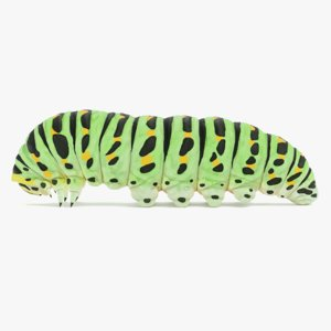 old world swallowtail caterpillar model