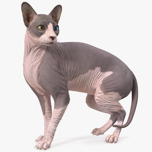 3D bicolor sphynx cat model