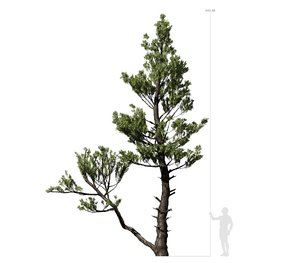conifer tree 002 3D