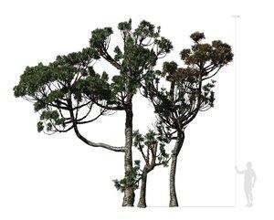 3D conifer tree 004