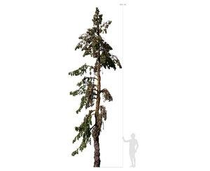 conifer tree 005 model