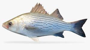 hybrid striped bass 3D model