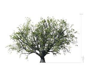 3D model beech tree 001