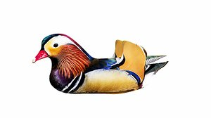 3D animation water wildlife duck