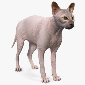 dark cream sphynx cat 3D model