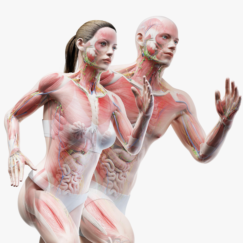 male female anatomy set model