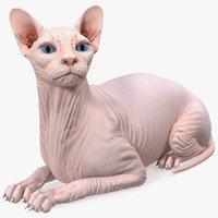 Cream White Sphynx Cat Lying Pose