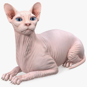 cream white sphynx cat 3D model