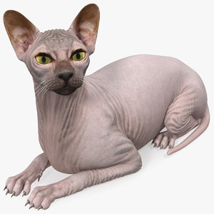 3D dark cream sphynx cat
