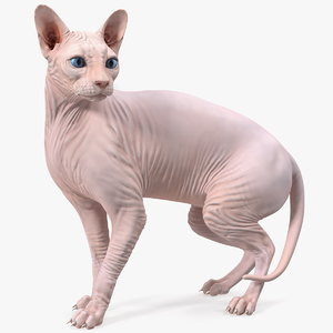 3D model cream color sphynx cat