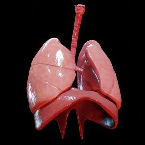 human lungs 3D