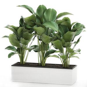 ornamental plant calathea lutea model