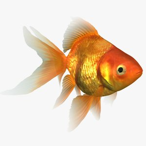 ryukin goldfish animation 3D model