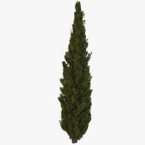 italian cypress 3D