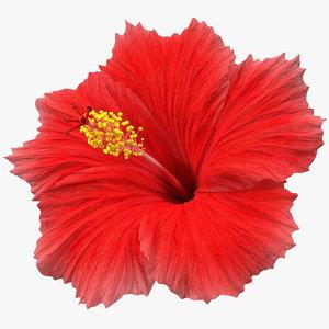 blooming red hibiscus flower model