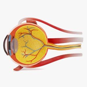 eye cross section 3D model