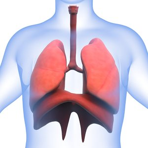 human respiratory 3D model