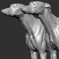 Dog Anatomy Canine Ecorche