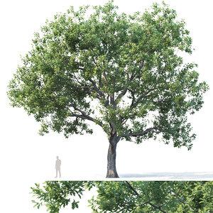 oak trees 3D model