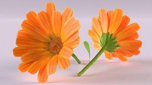 calendula medicinal plant 3D