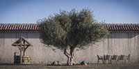 Olive tree 6 RETOPO