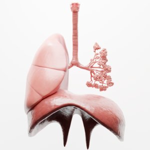human respiratory lungs 3D model