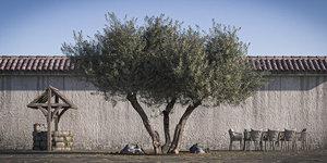 Olive Tree 9 Retopo