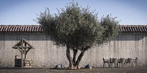 pack olive tree retopo 3D model