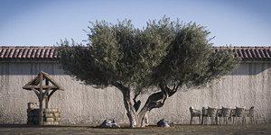 3D pack olive tree retopo