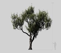American Chestnut Tree 001 - Castanea Dentata
