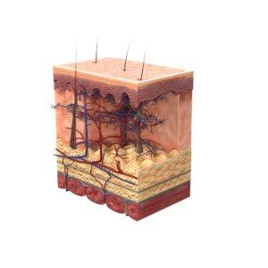 cross section skin 3D